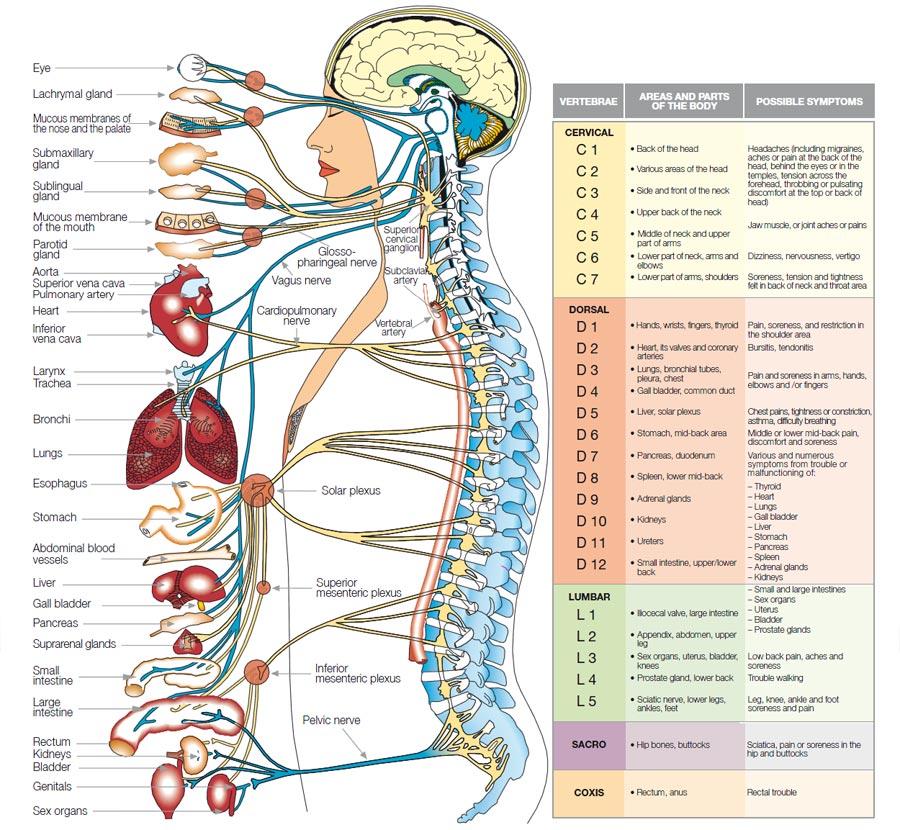 Autonomic Nervous System 2